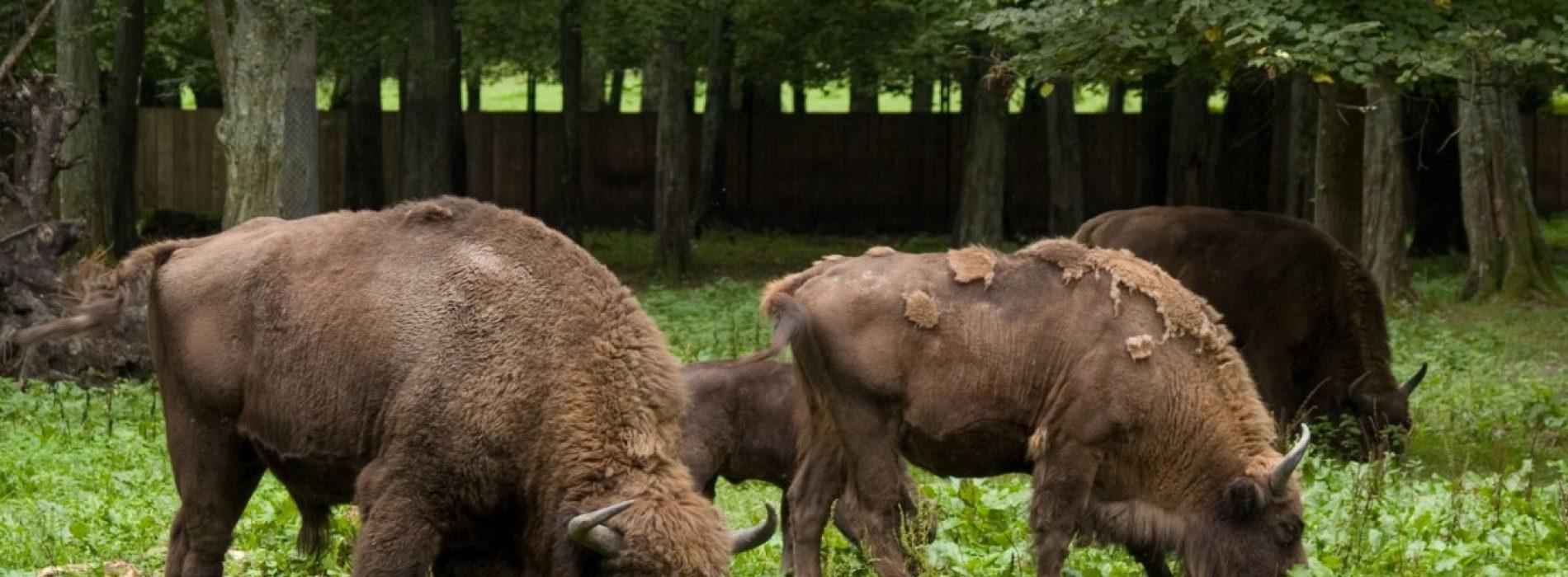 Munții Făgăraș devin «acasă»pentru zimbri. Primii au ajuns deja în țară