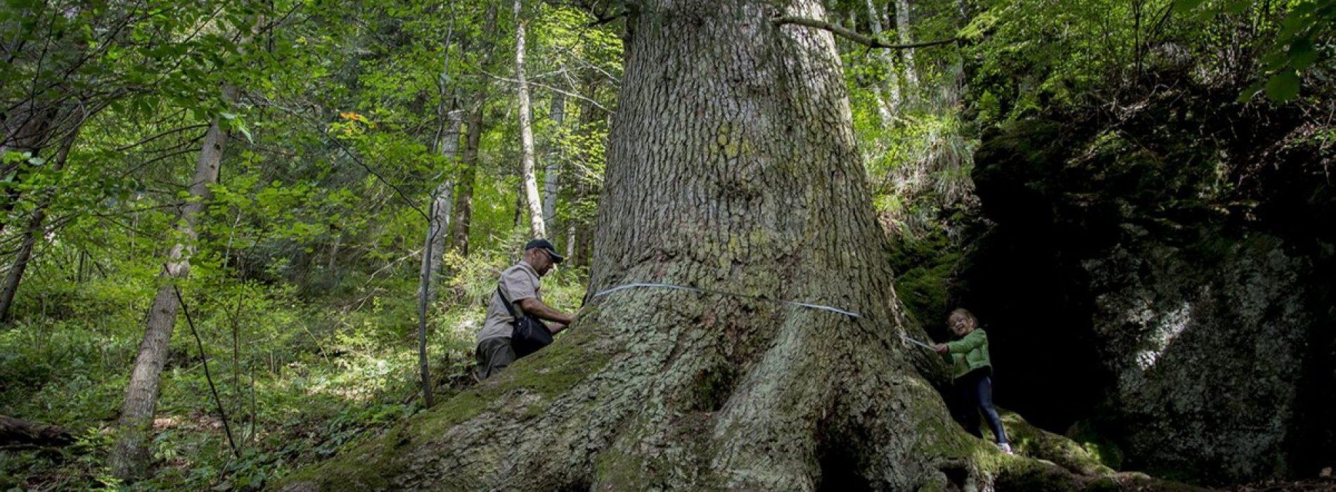 """Apărătorul Cibinului are nevoie de un vot în competiția europeană """"Copacul anului 2020""""!"""