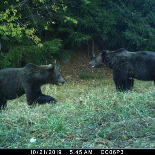 Premieră în România: recensământ al urșilor bruni, prin metode genetice, în Făgăraș
